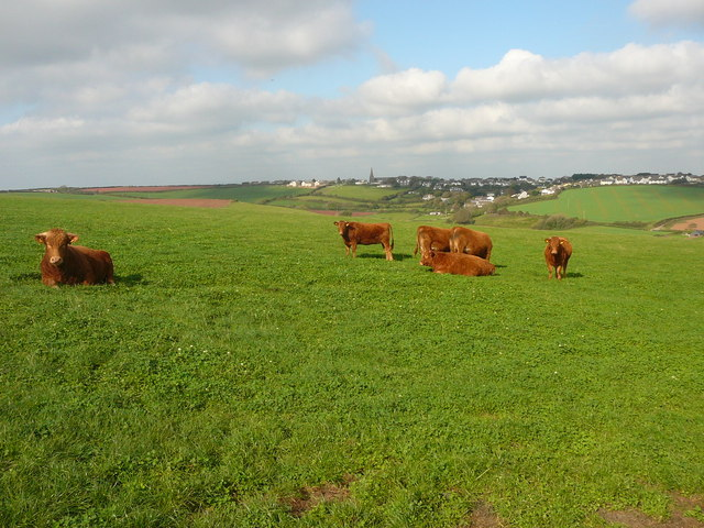 Cattle grazing near Portlemore Barton