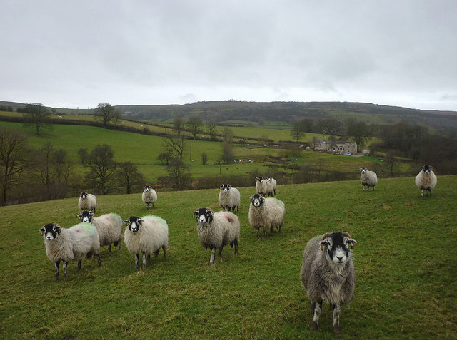 Hungry ewes on the footpath near Borrens