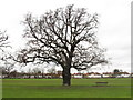 TQ2081 : Leafless oak tree by David Hawgood