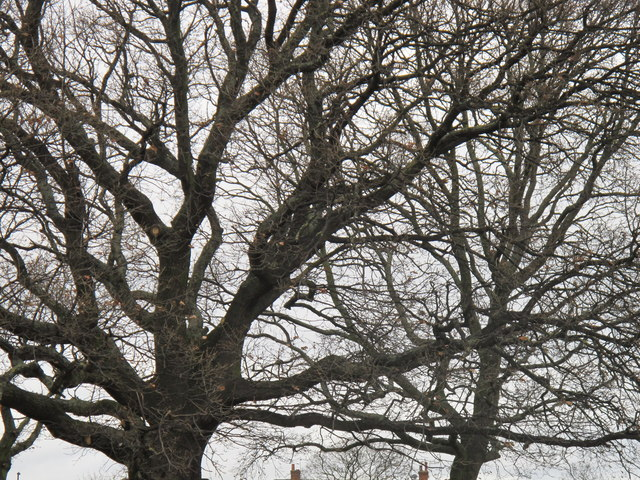 Oak branches in winter