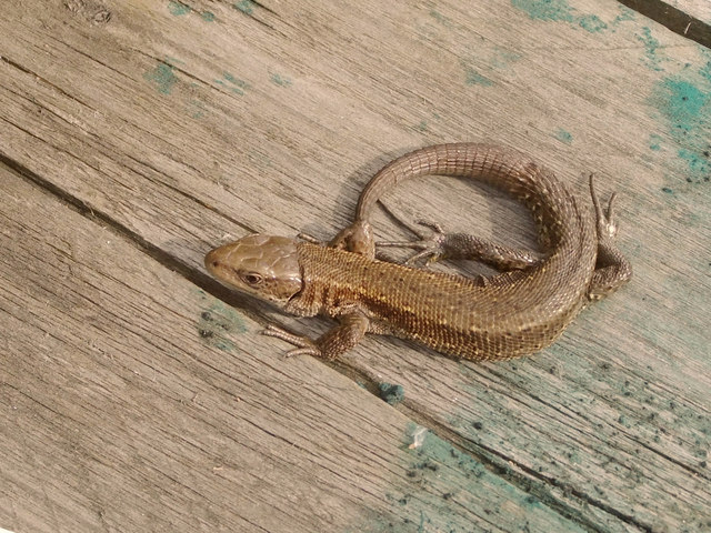 Common Lizard (Lacerta vivipara), Rainham Marshes