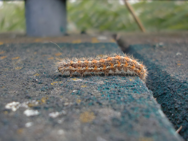 Hairy caterpillar, Rainham Marshes