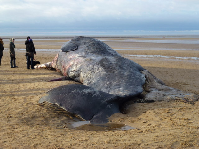 Dead whale on beach at Old Hunstanton - Christmas Day 2011