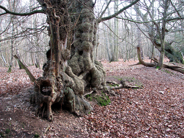 Gnarled ancient tree beside Dead Lane, East Bergholt