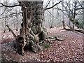 TM0635 : Gnarled ancient tree beside Dead Lane, East Bergholt by Evelyn Simak
