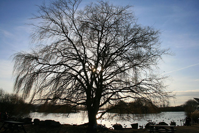 A willow in silhouette
