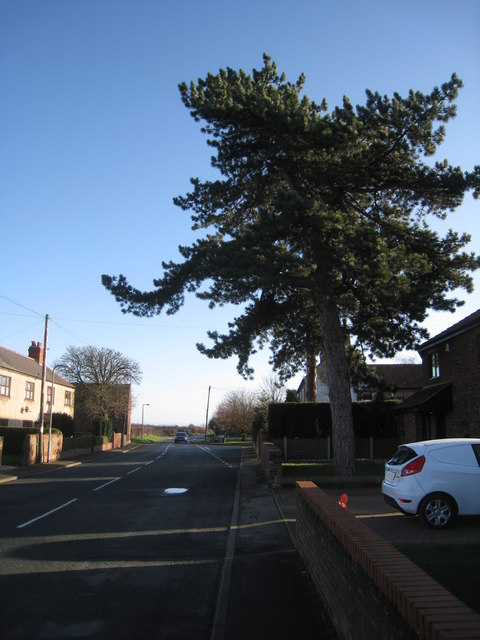 Pine tree on Gowdall Road