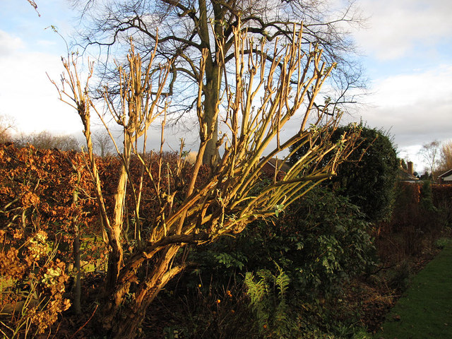 Midwinter buddleia