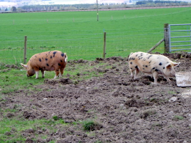 Pigs at  Stewart Tower