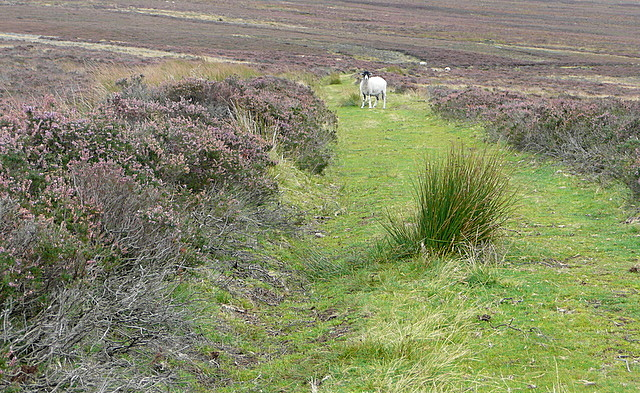 Moorland encounter