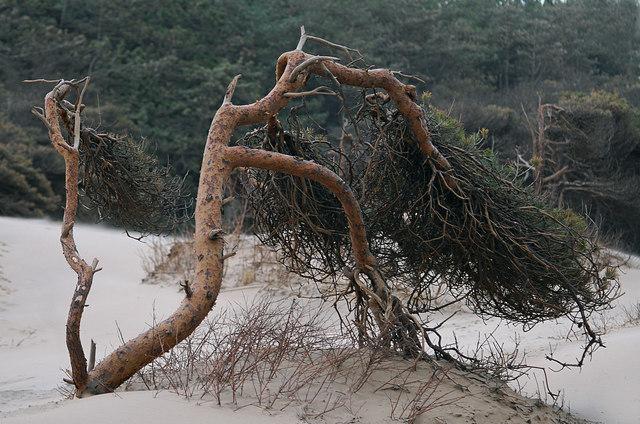 Stressed Pine