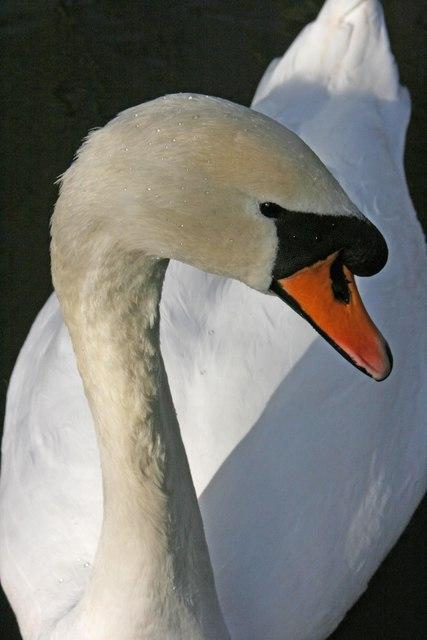 Swan in Vivary Park