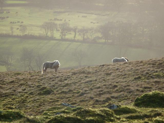 Ponies graze on Y Gaer Fawr