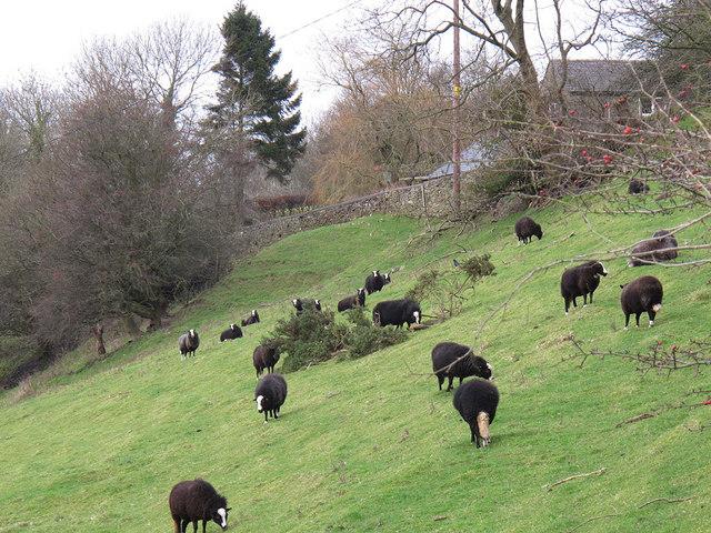 Black sheep below Kerridge