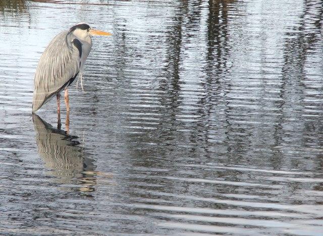 Heron at Bishop's Lodge Pond, Richmond Park