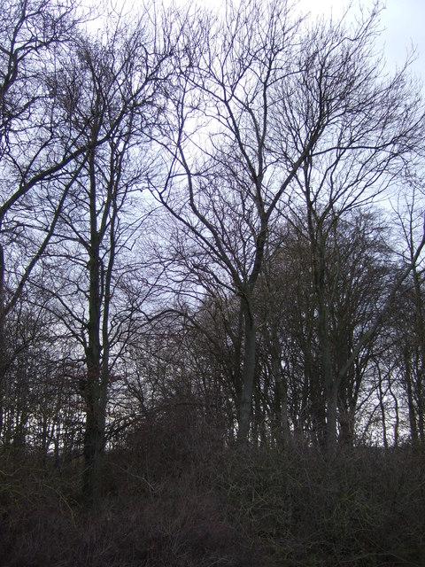 Ash Plantation