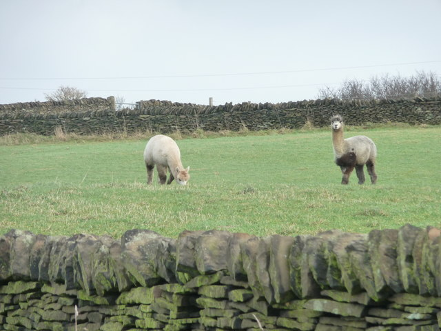 Alpaca grazing near Mount Hill