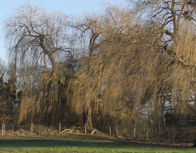 Trees at Ankerwycke: weeping willows