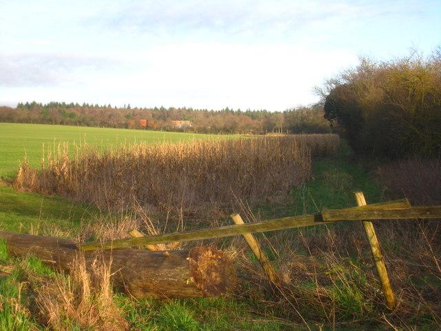 Maize along field boundary