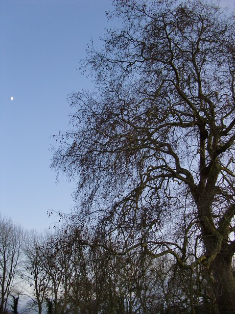 Plane tree at nightfall, Ankerwycke