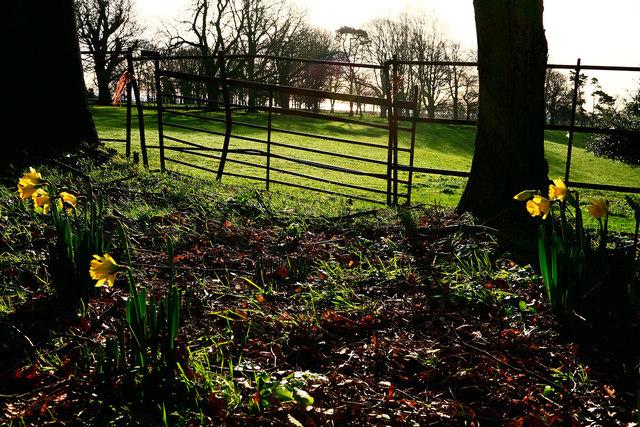 Daffodils near Winchelsea