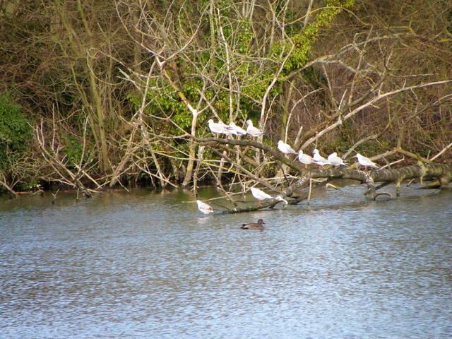 Resting gulls, Langford Lakes