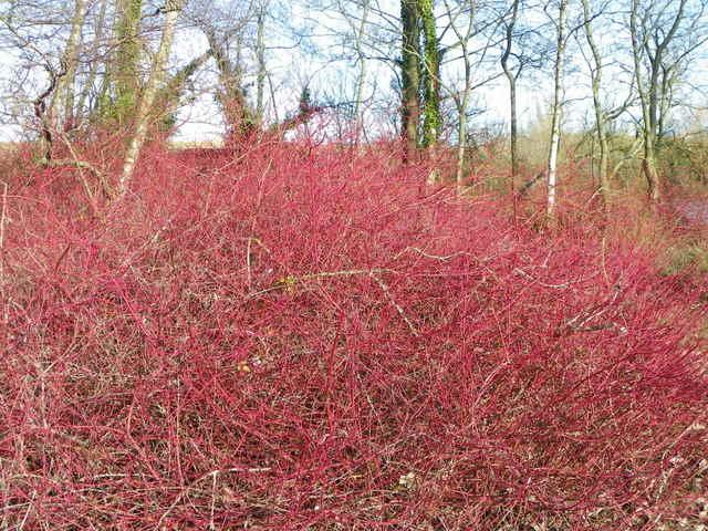 Dogwood (Cornus sanguinea), Langford Lakes