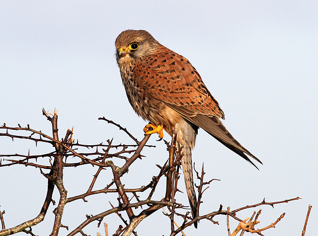 A kestrel on a hawthorn hedge