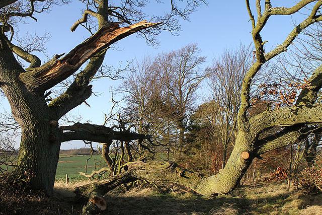 A storm damaged tree at Lurdenlaw
