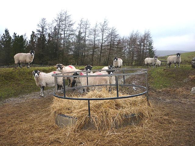 Sheep feeder at High Birkwith