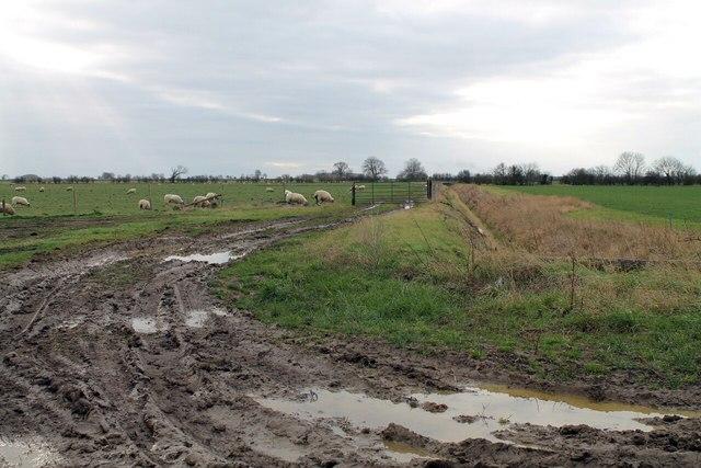 Mud and Sheep
