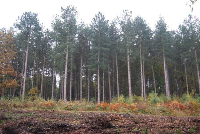 Conifers, Clowes Wood