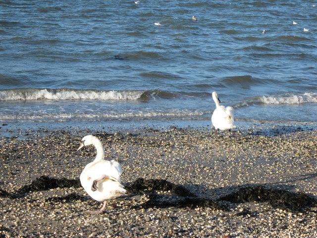 Loch Ryan Swans