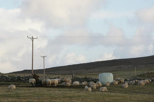 Sheep at Springfield, Baltasound