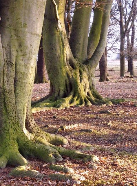 Beech trees in winter, Conduit Wood, Richmond Park
