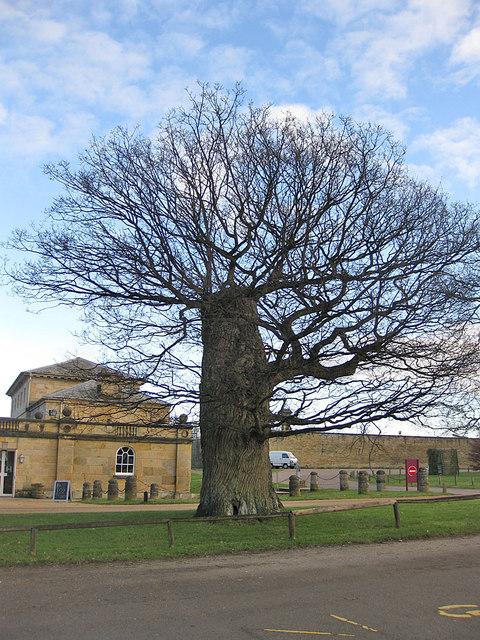 Pollarded oak, Castle Howard car park