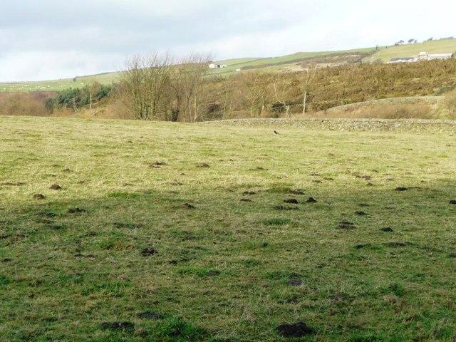 Molehills in a field above Ingbirchworth Reservoir