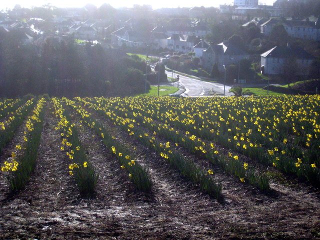 Daffodils at Higher Trannack