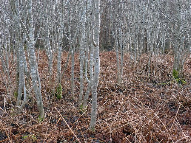 In Shantullich Wood