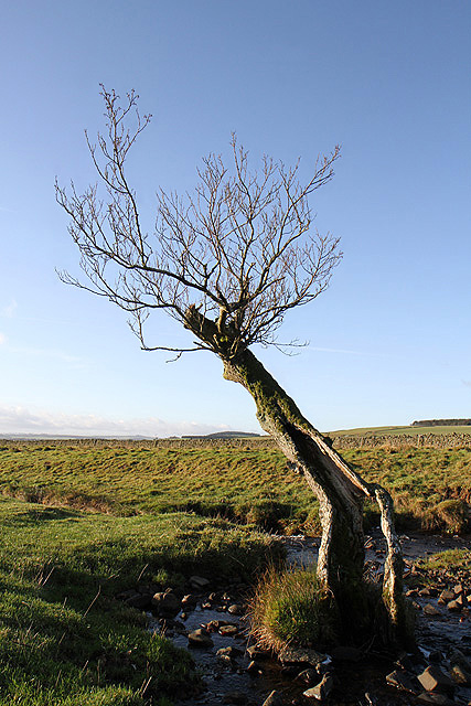 An old tree at Brunta Burn