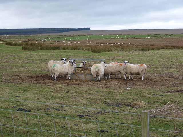 Sheep feeder near Gallows Hill Farm