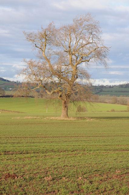 Tree in an arable field