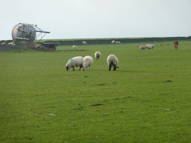 Sheep [and one cow] grazing near Whitley Common
