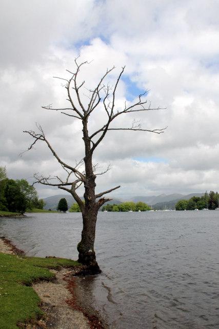 Lone Tree, Windermere, Cumbria