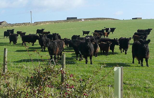 Cattle at Boulby Barns Farm
