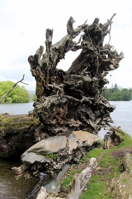 Fallen Tree, Windermere, Cumbria