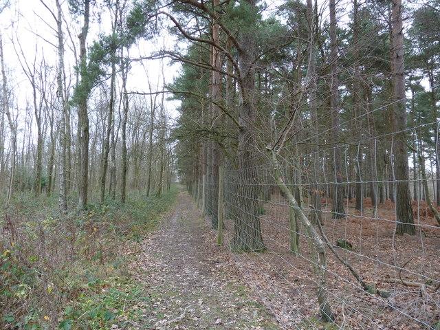 Conifers on the edge of Newnham Park Wood