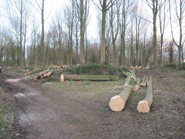 Thinning  Trees  in  Fryton  East  Wood