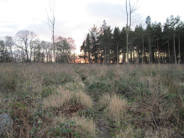 The  Firth  Wood  Replanted