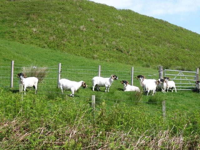 Horned sheep on hillside